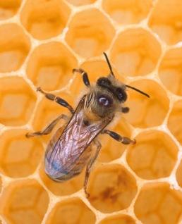 26-10-honeybee