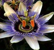 Flower_fibonaccinumber